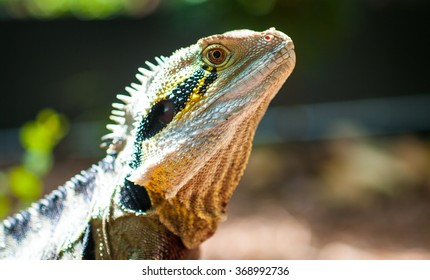 Australian Water Dragon Portrait
