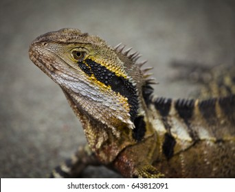Australian Water Dragon in Queensland Australia. Lizard looks at camera.