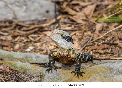 Australian water dragon, Sidney, Australia.