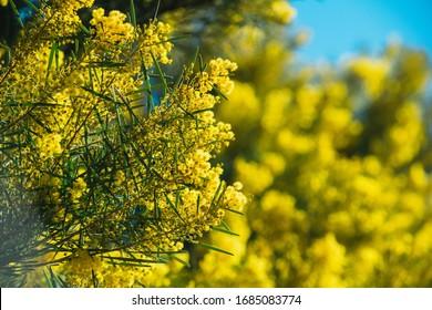 Australian wattle bush with yellow flowers