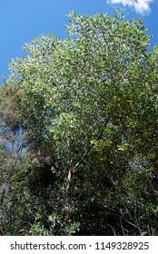 Australian Wattle Tree, Acacia candelabra, Candelabra Wattle, Phyllodes, Leaves, Pods