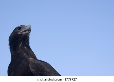 An Australian Wedge Tailed Eagle sitting at rest.