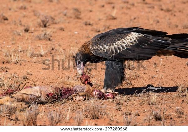 An Australian Wedge-tail Eagle feeds on a dead Kangaroo near Uluru in Northern Territory, Australia