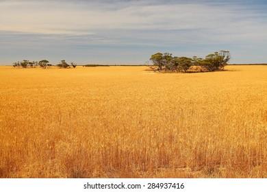 Australian wheat fields