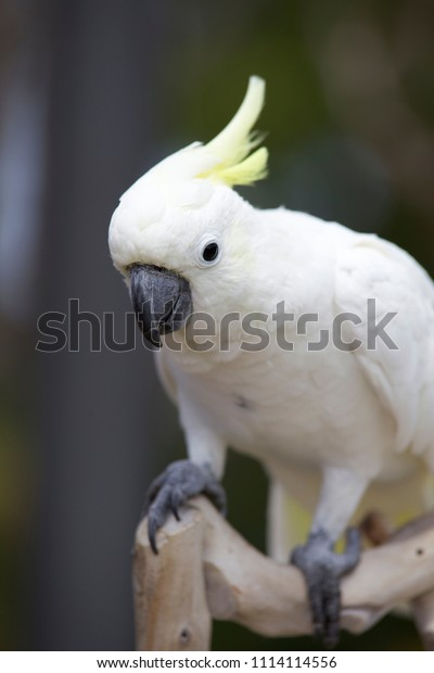 Australian White Cocktail Parrot Stock Photo Edit Now