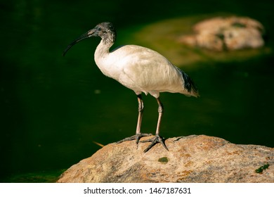 Australian White Ibis outside standing on a rock near the water.
