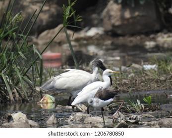 Australian white ibis (Threskiornis molucca) is a wading bird of the ibis family. Bird in dirty pond.