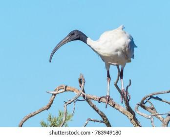 An Australian White Ibis (Threskiornis moluccus) on a tree at Herdsman Lake in Perth, Western Australia