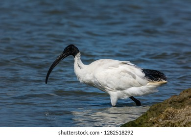 Australian White Ibis, Threskiornis, wading the shallows in search of food. Australian native bird. Glistening black head and bill.
