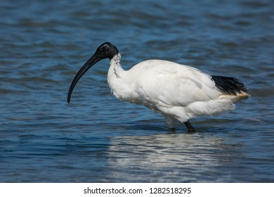 Australian White Ibis, Threskiornis, wading the shallows in search of food. Australian native bird with bald black head and bill.