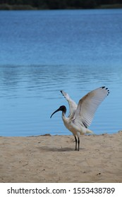 Australian White Ibis with Wings Raised Against a Blue Background