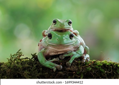 Australian white tree frog on leaves, dumpy frog on branch, animal closeup, amphibian closeup, a small frog climbed on his mother's back