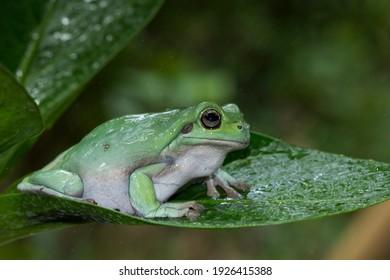 Australian white tree frog on green leaves, dumpy frog on branch, animal closeup, amphibian closeup