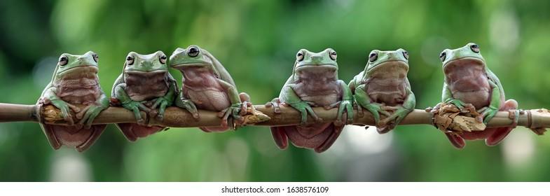 Australian white tree frog sitting on branch, dumpy frog on branch, animal closeup, amphibian closeup