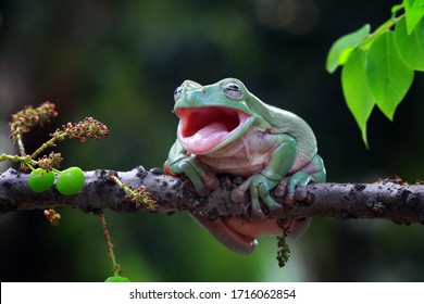 Australian white tree frog sitting on branch, dumpy frog on branch, Tree frogs shelter under leaves, tree frog closeup with open mouth