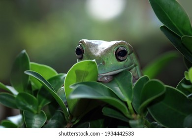 Australian white tree frogs hiding behind leaves, dumpy frog closeup face, Australian white tree frog camouflage on loeaves