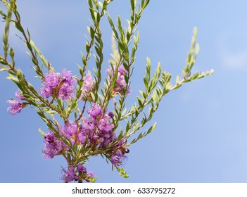 Australian wildflower, Melaleuca thymifolia, known as thyme honey-myrtle or pink lace honey myrtle against blue sky