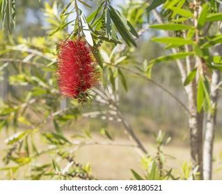 Australian wildflower red bottlebrush, Callistemon flower bloom in spring