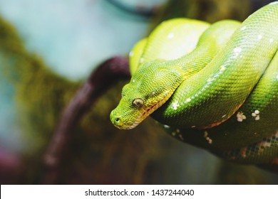 Australian wildlife: snake, green tree python. Detail the head. Beautiful, colorful ambush predator.