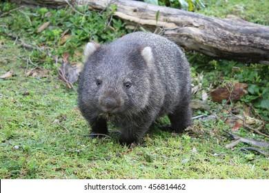 Australian wombat juvenile Vombatus ursinus