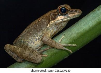 Australian wood frog (Papurana daemeli). Kuranda, Queensland, Australia.