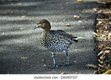 the Australian wood maned duck is walkin g on a path