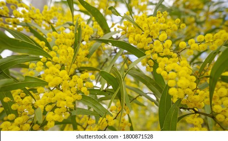 Australian Zig Zag Wattle Acacia macradenia with yellow globular clusters of  small  fluffy bright golden flowers