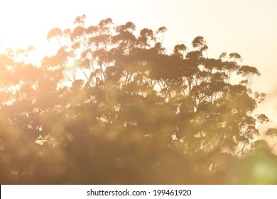 Australiana  gum tree background sunrise image toowoomba queensland