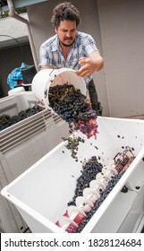 Australian/Argentinian winemaker adding Tempranillo grapes to a crusher/destemmer at a small wine processing facility near Hahndorf in the Adelaide Hills of South Australia