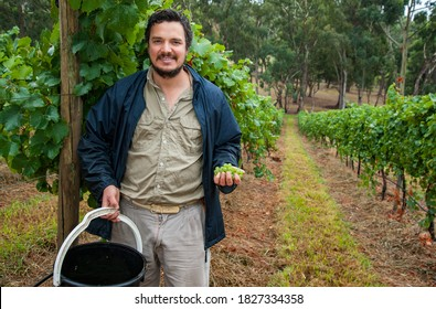 Australian/Argentinian winemaker and viticulturist picks Chardonnay grapes at his vineyard in Lenswood the Adelaide Hills of South Australia