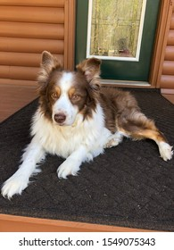 Australianshepherd pup on porch outdoors resting