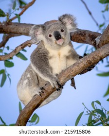 Australia's cutest wild koala in eucalyptus tree, Magnetic Island, Queensland, Australia