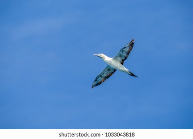 Australiasian gannet flying in a blue cloudless sky at wilsons promontory national park