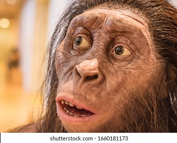 """Australopithecus afarensis reconstruction, the """"southern ape,"""" which lived from 3.8 to 2.9 million years ago. Natural Science Museum - Muse - Trento,Italy, Europe - September, 14, 2019"""