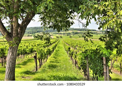 Austria agriculture - Burgenland wine growing region. Vineyard in summer.