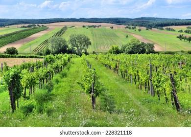 Austria agriculture - Burgenland wine growing region. Vineyard in summer.