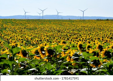 Austria, filed with sunflowers and wind turbines in background
