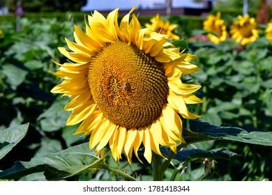 Austria, honey bee on sunflower