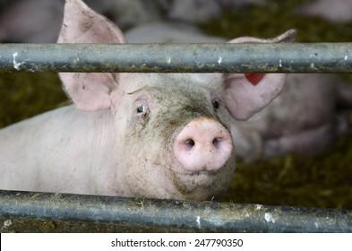 Austria, pig farming