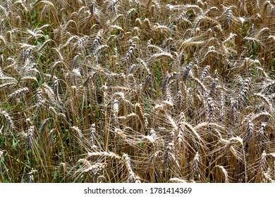 Austria, ripe wheat field before harvest