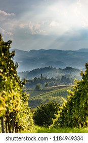 Austria Vineyards Sulztal an der Weinstrasse south Styria , wine country tourist spot. Crops of grapes before ripe