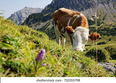 Austrian Alps, Tyrol, single cow on a meadow high in the Karwendel mountains