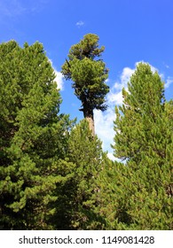 Austrian conifers, Arolla pine trees, near Obergurgl, Ötztal in Tyrol, Austria.