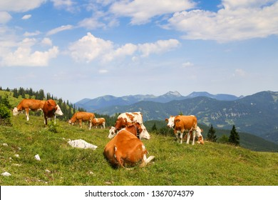 Austrian cows with bell relaxing on Alpine meadow on a mountain in Tirol, Austria - Europe
