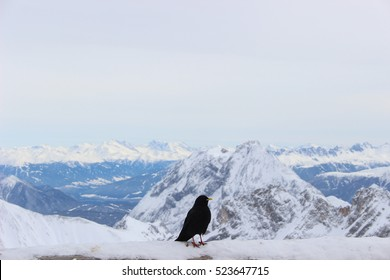 Austrian crow at the Zugspitze