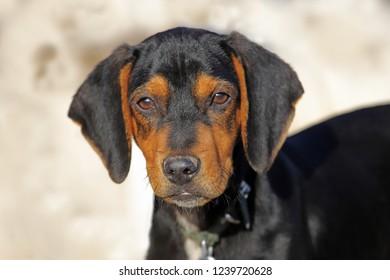 Austrian Hound Hunting Dog
