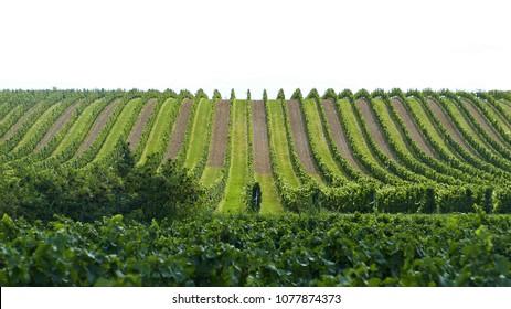 Austrian vineyard in geometric order by lake Neusiedl