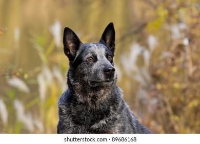 ausyralian cattle dog portrait