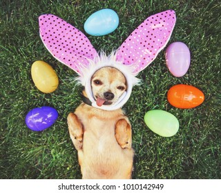 authentic photo of a cute chihuahua with rabbit ears on and his tongue out surrounded by Easter eggs toned with a retro vintage instagram filter