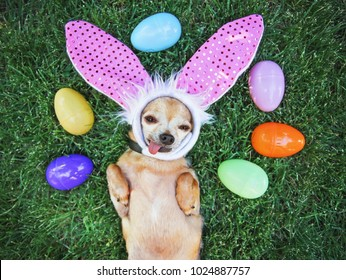 authentic photo of a cute chihuahua with rabbit ears on and his tongue out surrounded by Easter eggs